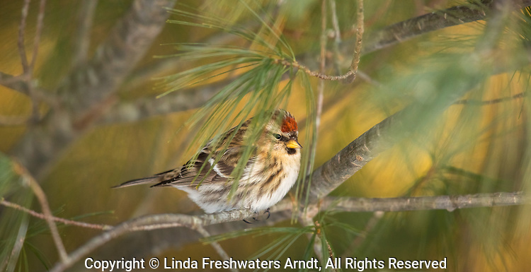 Common redpoll hidden deep within a pine tree in northern Wisconsin.