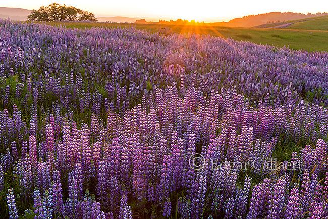 Sunset, Lupin, Lupinus angustifolius, Williams Ridge, Redwood National Park, California