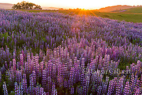 Sunset, Lupin, Lupinus angustifolius, Williams Ridge, Redwood National Park, California