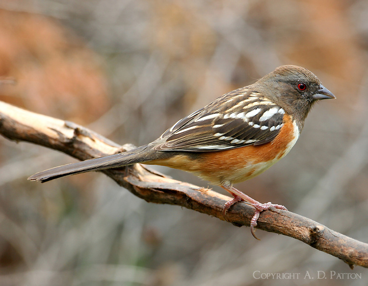 Adult female spotted towhee