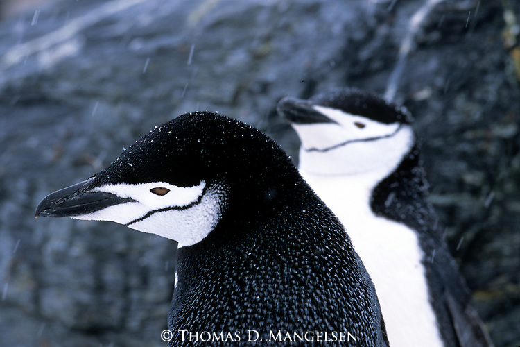 Chinstrap penguins in the falling storm in the South Orkney Islands.