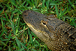 FL: Florida Everglades National Park, alligator.Photo Copyright: Lee Foster, lee@fostertravel.com, www.fostertravel.com, (510) 549-2202.Image: flever265