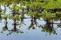 Red mangrove and reflection, Merritt National Wildlife Refuge, Florida, Rhizophora mangle
