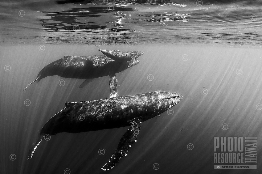 A family of humpback whales enjoys the warm clear water off of Maui.