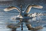 Japan, Hokkaido, whooper swan landing in lake