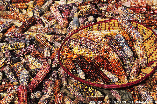 The variety of color in the  ears of Indian corn, grown by the Native Americans in New Mexico and the southwest seems to be almost surreal