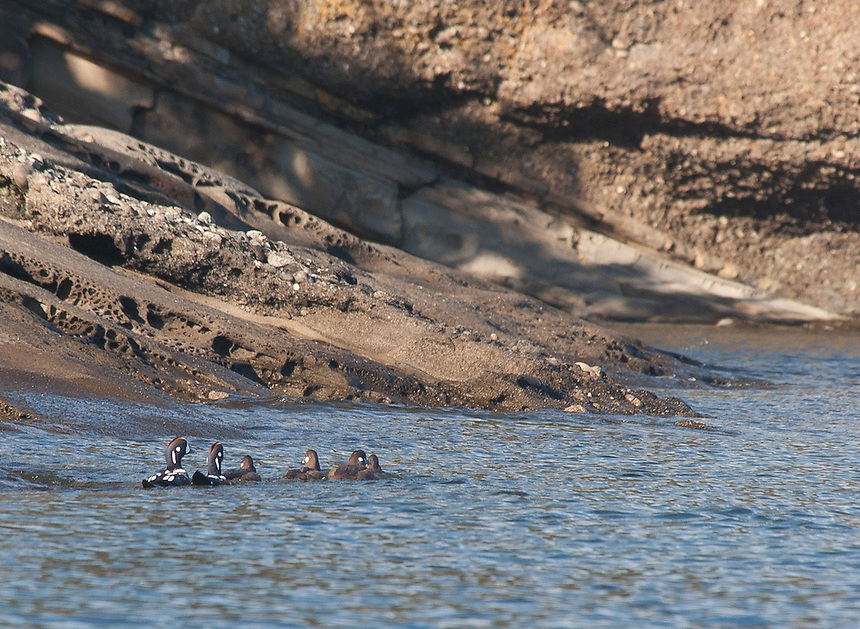Harlequin Ducks (Histrionicus histrionicus), Stuart Island, Washington, US