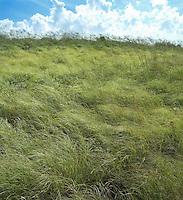 Coastal Grasses, Nantucket Island, MA