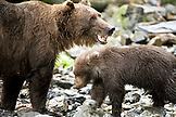 USA, Alaska, grizzly bear mother and cub, Wolverine Cove, Redoubt Bay