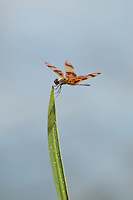 Halloween Pennant (Celithemis eponina) Dragonfly - Male, Babcock-Webb WMA, Charlotte County, Florida