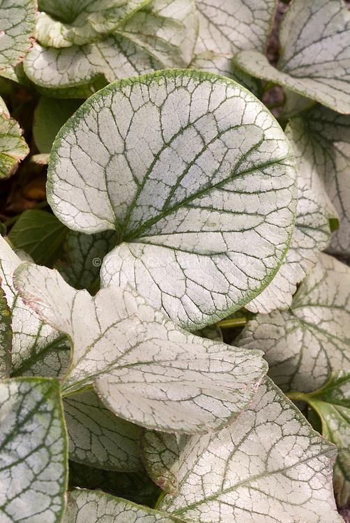 Brunnera macrophylla 'Jack Frost' silvery shade perennial closeup of variegated foliage