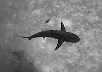 Caribbean Reef Shark near a sandy bottom at Jardines de la Reina, Cuba