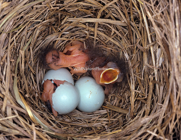 Eastern Bluebird Nest (Sialia sialis) with hatchlings and eggs