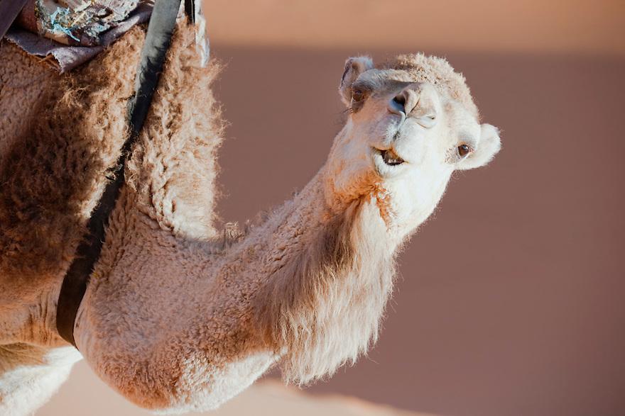 Face of a dromedary (camel) in the Sahara desert, Morocco.