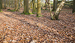 Fallen leaves forming layer of leaf litter on deciduous woodland floor in winter, Suffolk, England