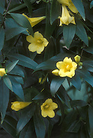 Evening Trumpet Vine Gelsemium sempervirens climber for wet soils, fragrant flowers