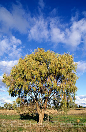 Weeping Myall (Acacia pendula) single tree in paddock. near Forbes, New South Wales