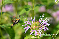 04005-00415 Snowberry Clearwing (Hemaris diffinis) on Wild Bergamot (Monarda fistulosa) Marion Co. IL
