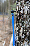 Tap in maple tree to maple sap pipeline