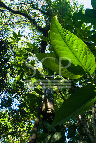 Mato Grosso State, Brazil. Aldeia Metuktire. green leaves under the forest canopy.