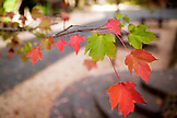 USA, California, Sonoma, fall leaves add color to the Buena Vista Carneros winery