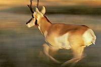 My249  Pronghorn antelope buck running.  National Bison Range, MT.  Fall.