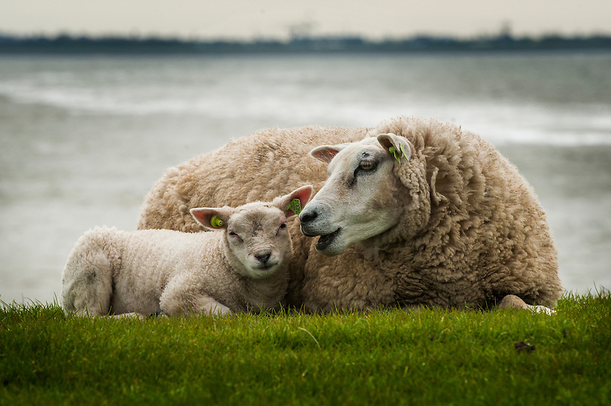 Nederland,Amsterdam, 3 april 2014<br /> Schaap met lam op een dijk op Texel <br /> Foto (c) Michiel Wijnbergh