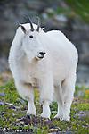 Mountain goat nanny. Glacier National Park, Montana.