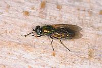 Goldgrüne Waffenfliege, Chloromyia formosa, Soldier Fly, soldierfly, Broad Centurion, Green Soldier Fly, Waffenfliegen, Stratiomyidae, Stratiomyiidae, soldier flies, soldierflies