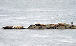 Six cuddly seals bask in sunshine on a rocky shore at Valentia Harbour 2014.<br /> Picture by Don MacMonagle