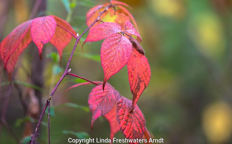 Highbush blackberry in autumn