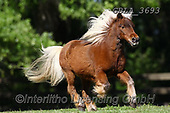 Bob, ANIMALS, REALISTISCHE TIERE, ANIMALES REALISTICOS, horses, photos+++++,GBLA3693,#a#, EVERYDAY