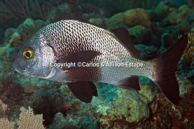 Anisotremus surinamensis, Black margate, Florida Keys