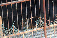 Tigers in  cages at the Xiongshen Tiger and Bear Park in Guilin China. The park has farmed 1500 tigers and sells an illegal tiger bone wine to tourists that visit the park.