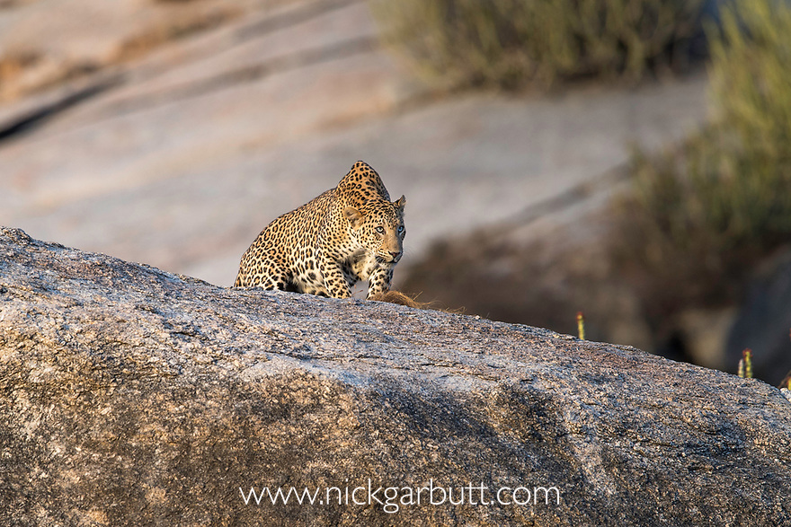 Male leopard (Panthera pardus) on rocky outcrop. Jawai / Bera in Rajasthan, India.