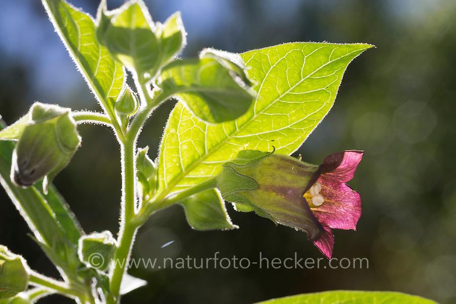 Tollkirsche, Toll-Kirsche, Blüten, Blüte, Atropa bella-donna, Atropa belladonna, Atropa bella donna, Deadly Nightshade