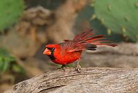 511650100 a wild male northern cardinal cardinalis cardinalis perches on a log on dos venadas ranch starr county rio grande valley texas united states