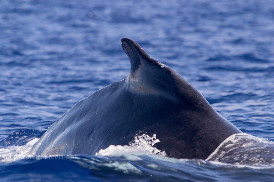 The dorsal fin of a humpback whale, Megaptera novaeangliae, on the surface.  Hawaii.