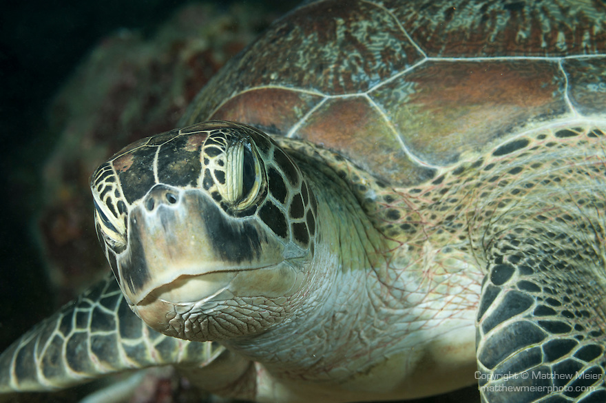 Nemo Thila, Maarehaa Island, Huvadhoo Atoll, Maldives; tight, detail, head and shoulder shots of a Green Sea Turtle (Chelonia mydas)