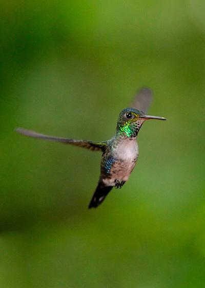 Colibrí Ventrivioleta / colibríes de Panamá.<br /> <br /> Violet-bellied Hummingbird / hummingbirds of Panama.<br /> <br /> Damophila julie.<br /> <br /> Edición de 25 | Víctor Santamaría.