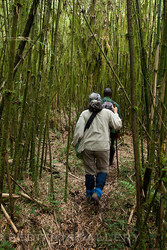 Trekking through bamboo forest in Volcanoes National Park (Parc National des Volcans), Rwanda.