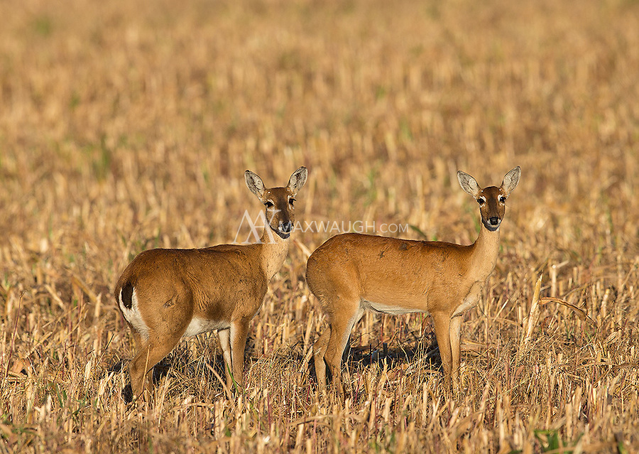 We saw numerous pampas deer in Emas National Park.