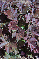 Heuchera perhaps Palace Purple, foliage plant leaves