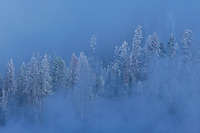 798718508 snow covered fir trees surrounded by dense winter fog in hayden valley yellowstone national park wyoming