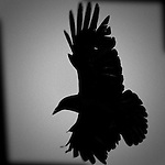 Crow flying in black and white.