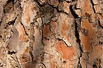 Judea, the bark of a Pine tree (Pinus Pinea) in Ein Kinia