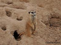 0215-08oo  Standing Meerkat on Lookout, Suricata suricatta © David Kuhn/Dwight Kuhn Photography