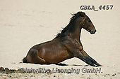 Bob, ANIMALS, REALISTISCHE TIERE, ANIMALES REALISTICOS, horses, photos+++++,GBLA4457,#a#, EVERYDAY
