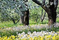Germany, Baden-Wuerttemberg, Markgraefler Land, town Schliengen, district Obereggenen: cherry blossom and spring flower meadow | Deutschland, Baden-Wuerttemberg, Markgraefler Land, Schliengen, Ortsteil Obereggenen: Kirschbluete und Blumenwiese