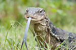 Water monitor, Varanus salvator, Captive, with tongue out, tasting the air, large lizard native to South and Southeast Asia